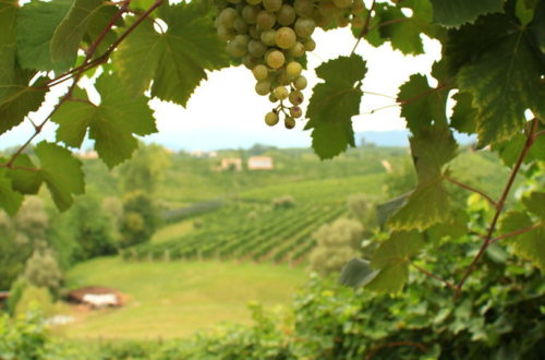 A vineyard in the Prosecco region of Northeast Italy
