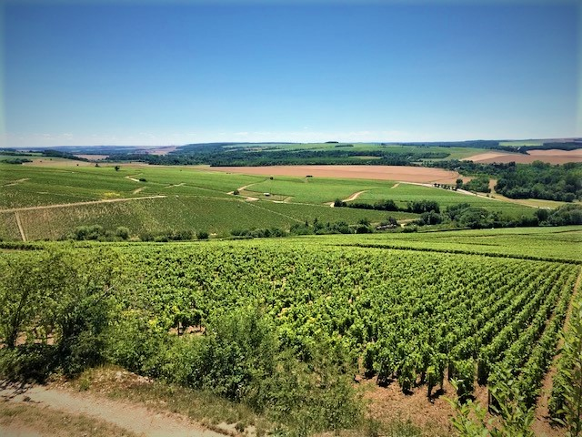 A view of a vineyard in Chablis